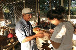 pollos granja 3